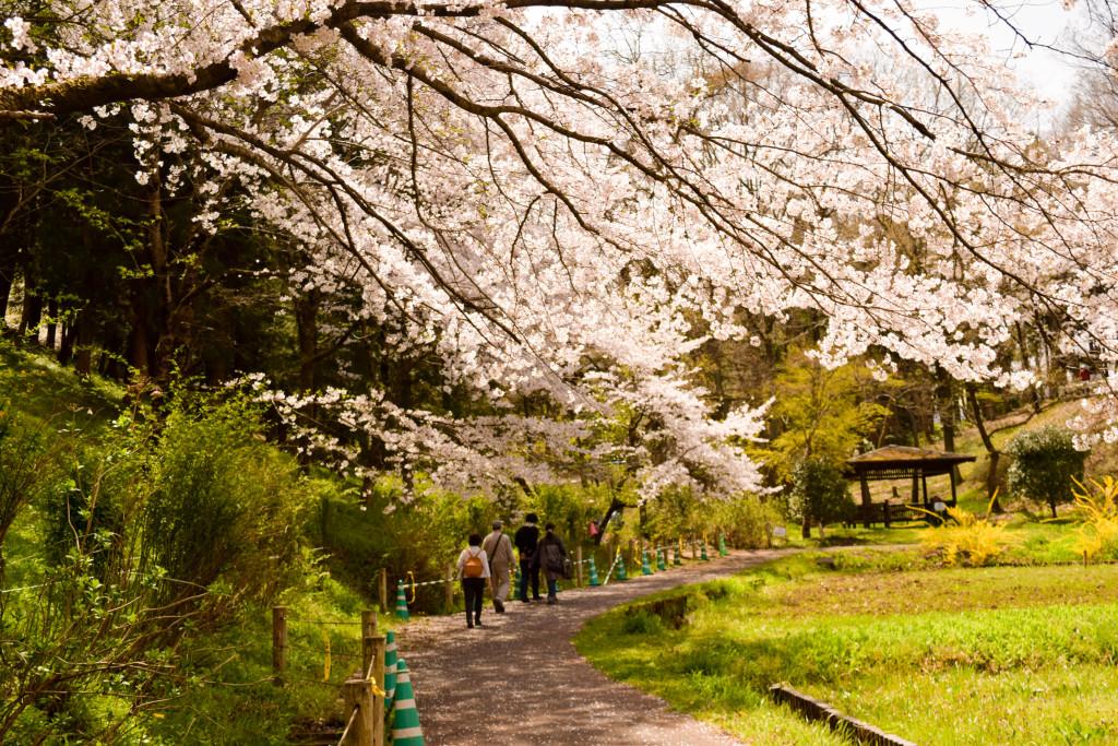 芝桜前の桜