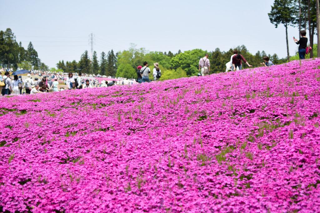 芝桜ボランティア_8