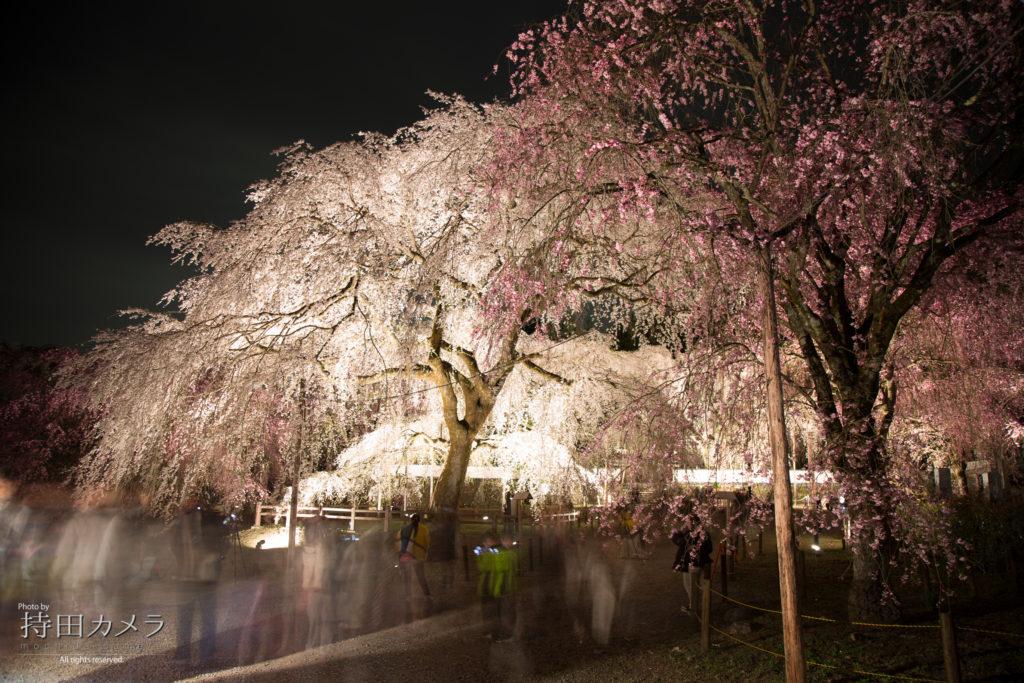 市長おススメの清雲寺「しだれ桜」