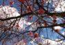 【2ヶ月限定の絶景】470本もの梅が咲き乱れる、秩父長瀞・宝登山の梅祭り